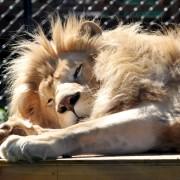 lion2bob